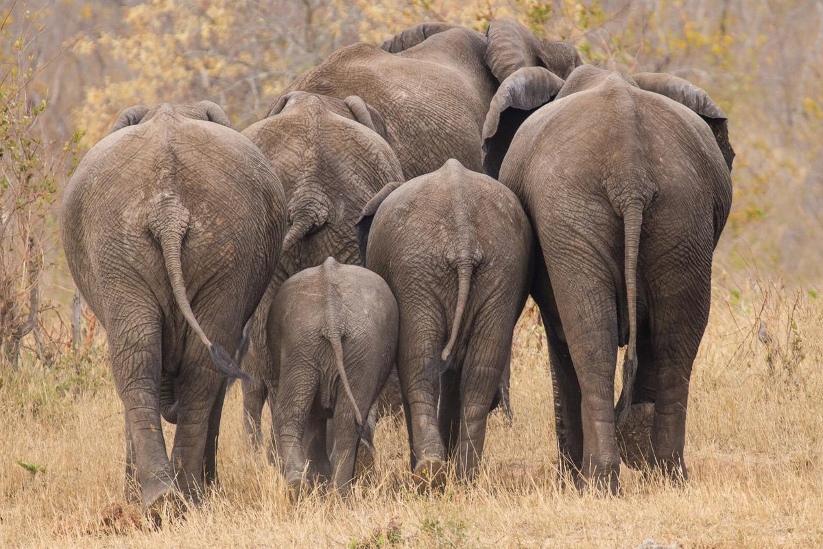 Elefanten gehen weg