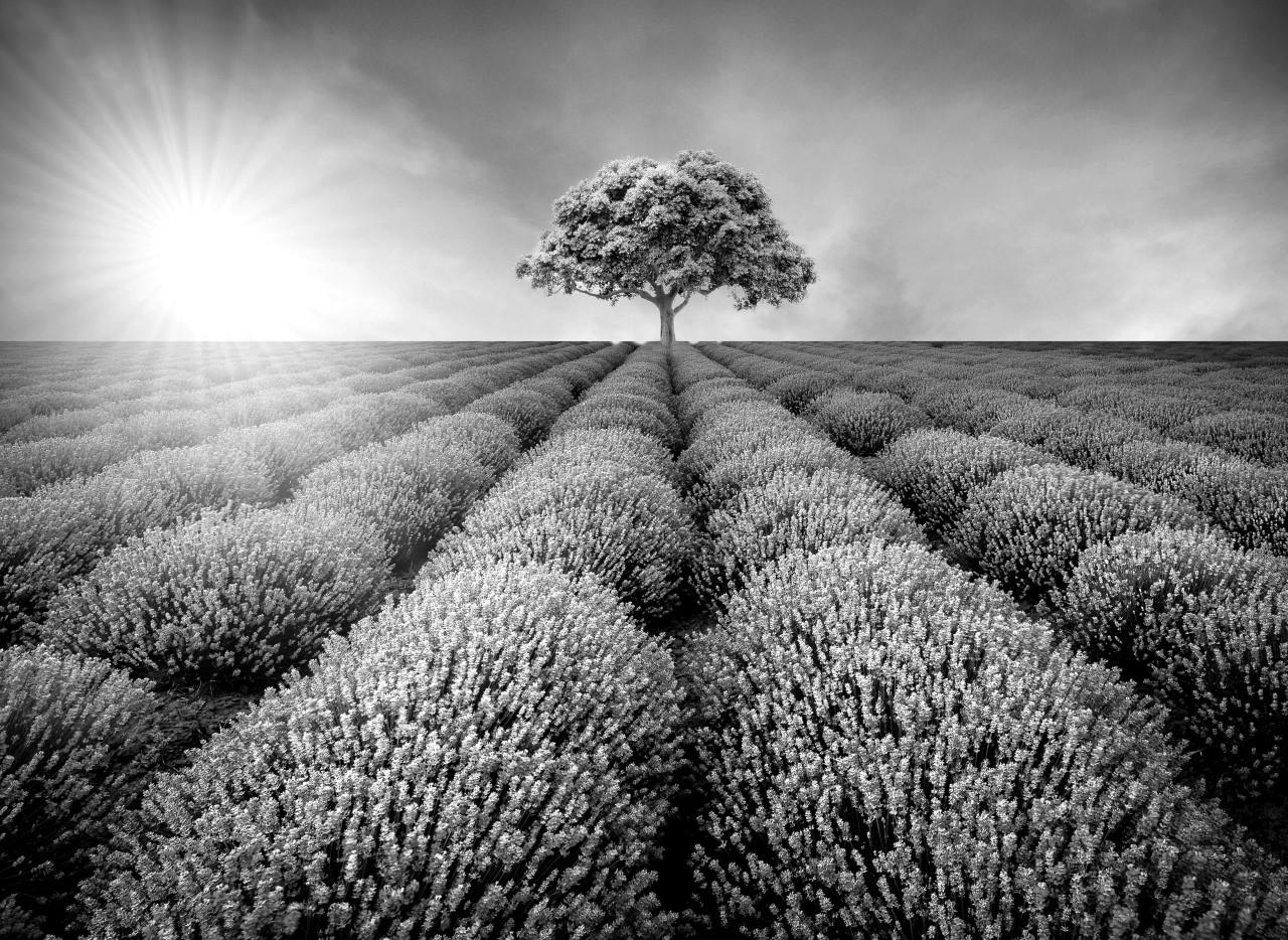 Baum im Feld Schwarz & Weiß