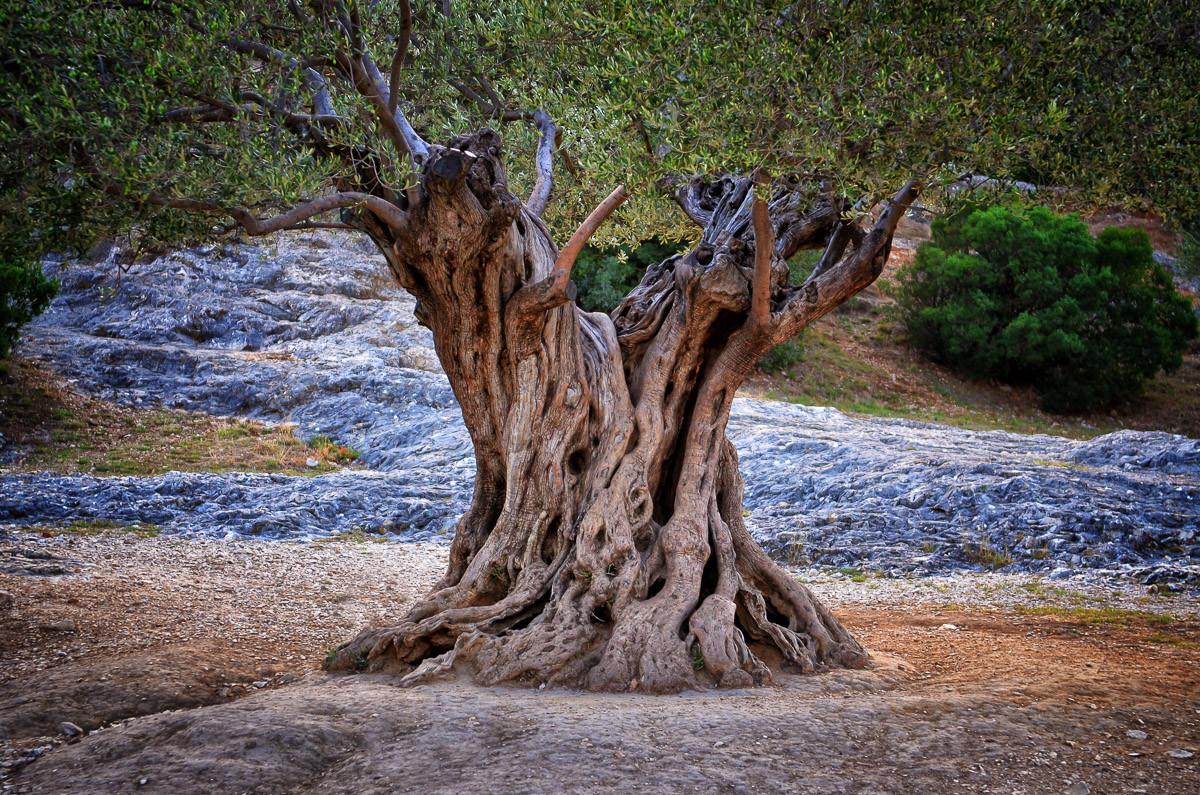 Alte Olivenbaumstämme