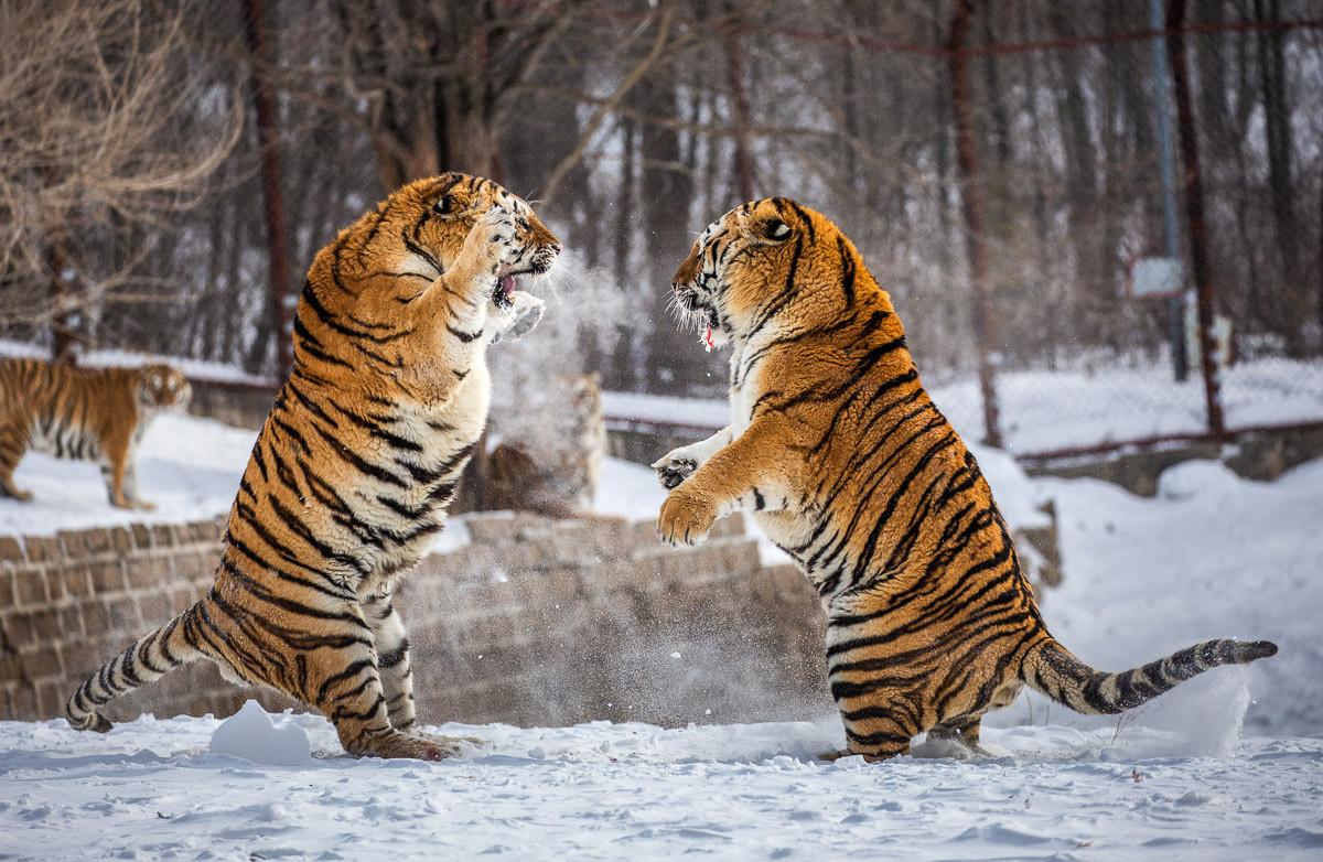 Kampf gegen Sibirische Tiger