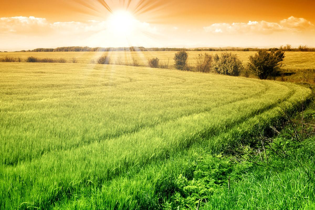 Feld des frischen Getreides