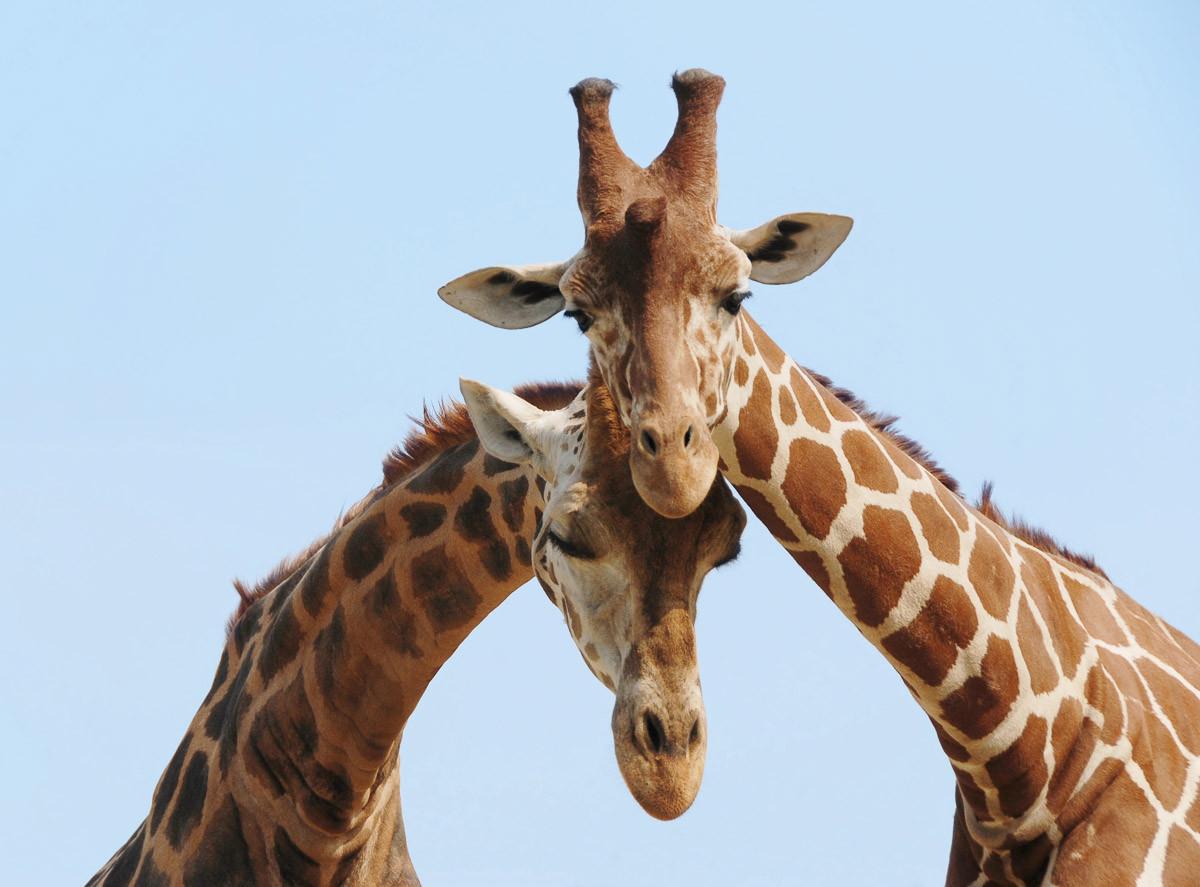 Verliebte Giraffen