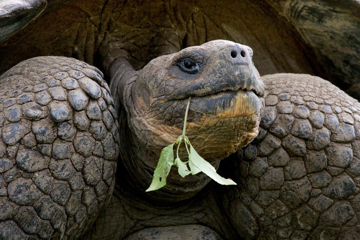 Riesenschildkrötenporträt