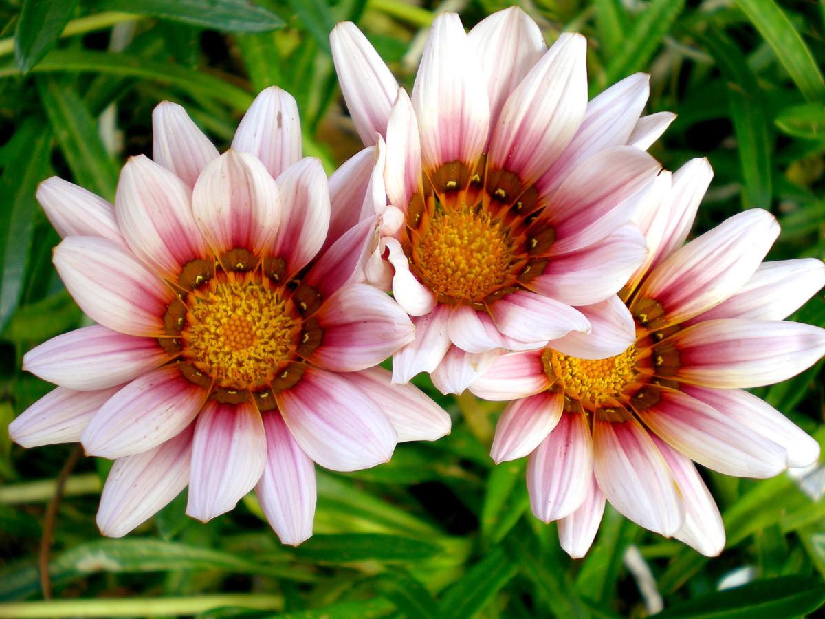 Afrikanische Gazania Blumen