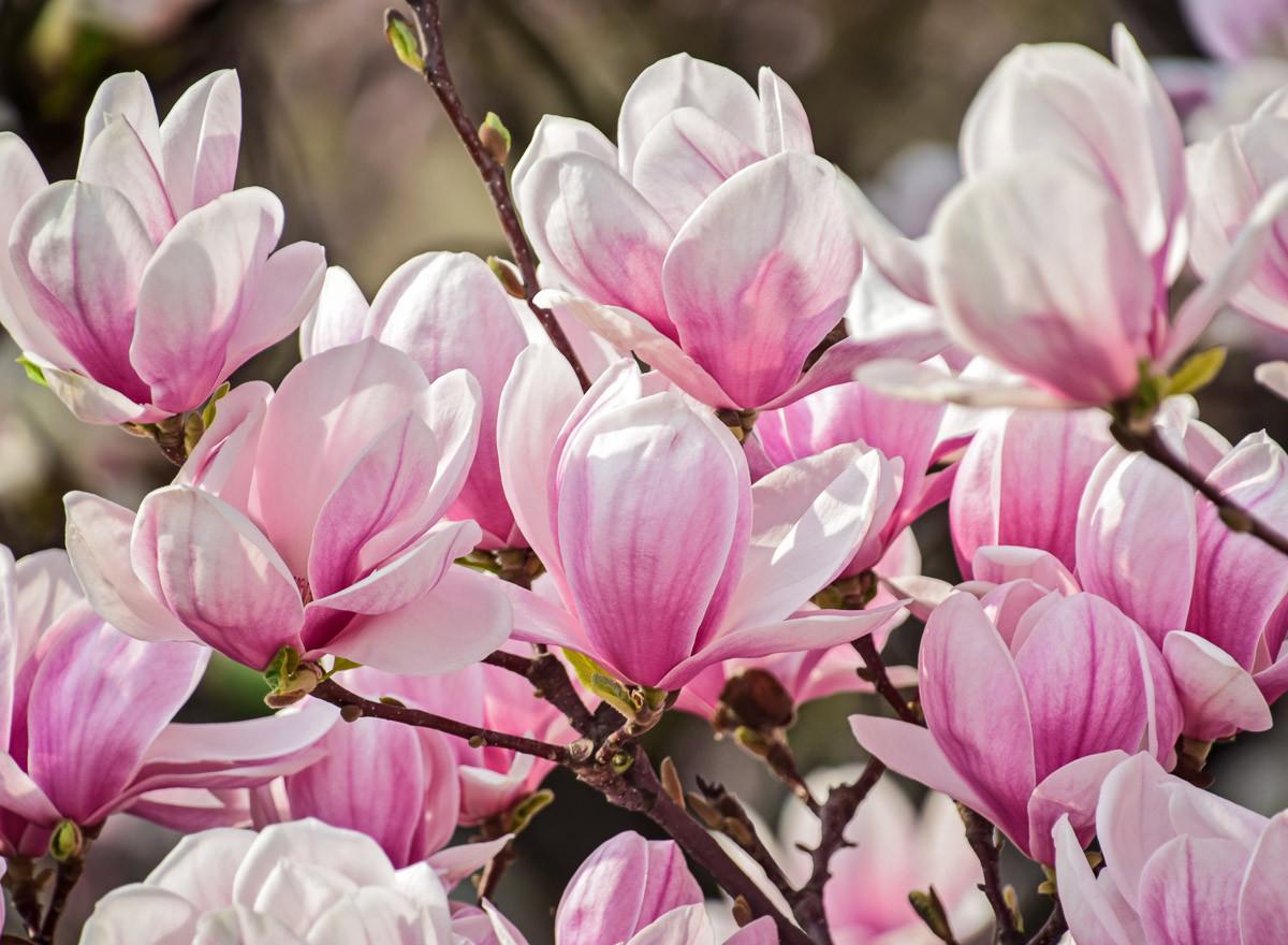 Magnolienblumen
