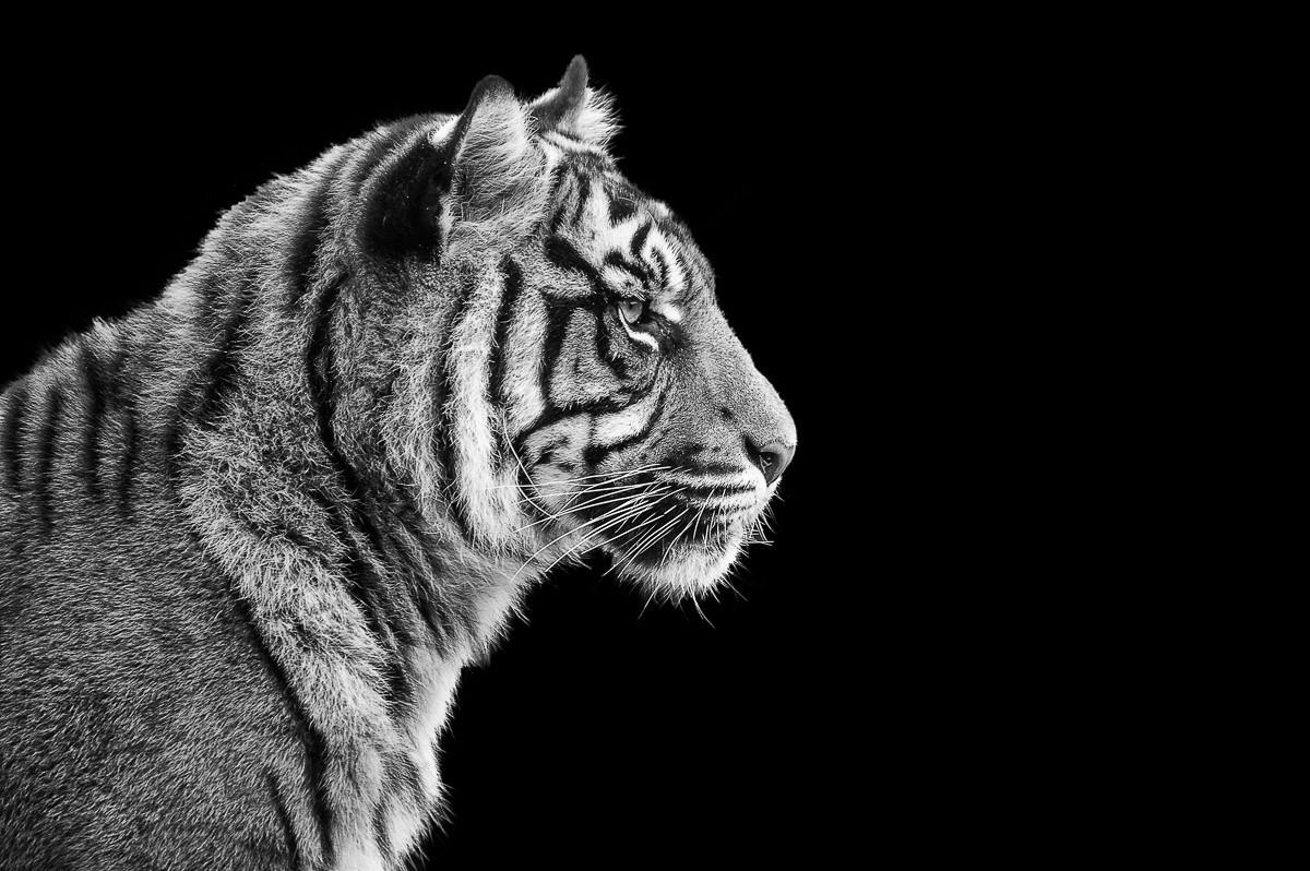 Sumatra-Tiger-Porträt
