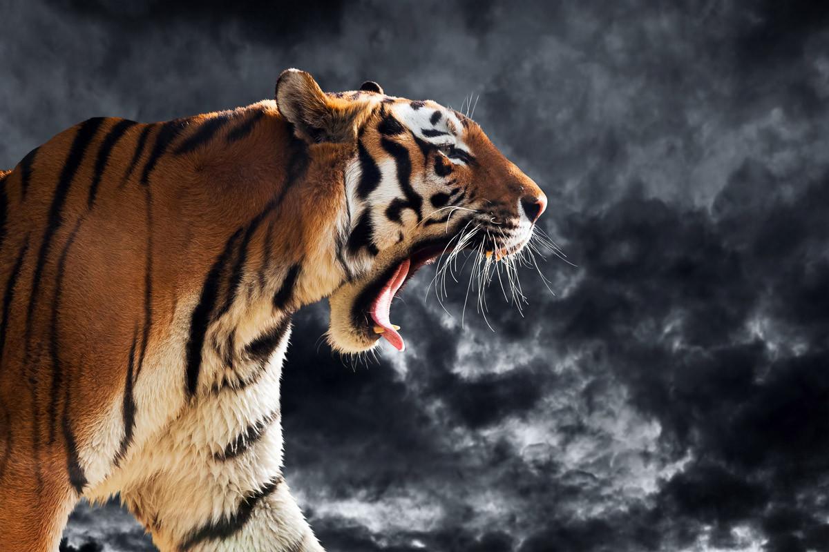 Brüllender wilder Tiger