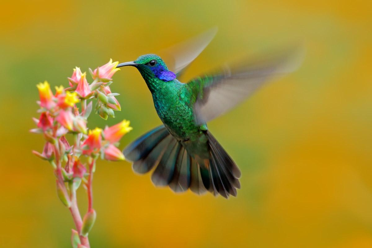 Kolibri Colibri Thalassinus