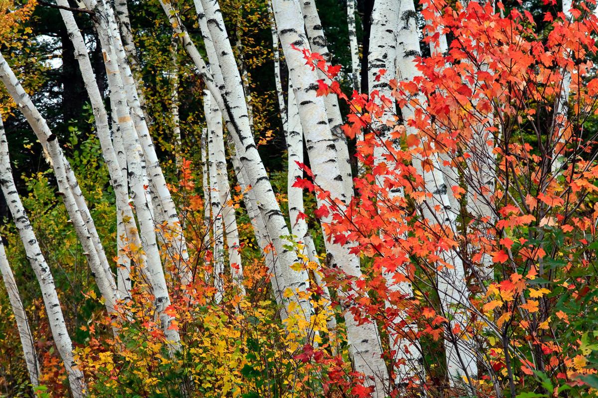 Herbst Birkenwald