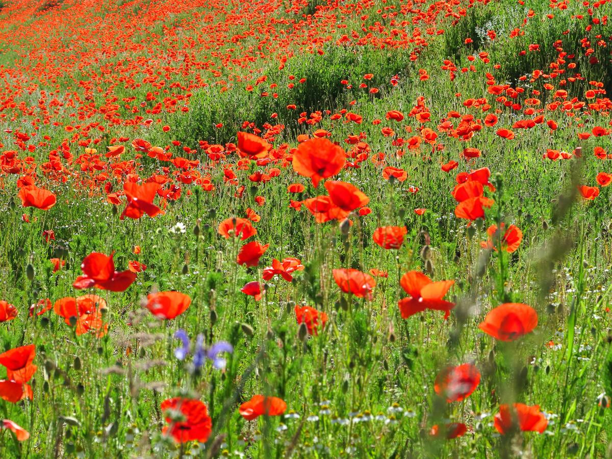 Red Poppa Field