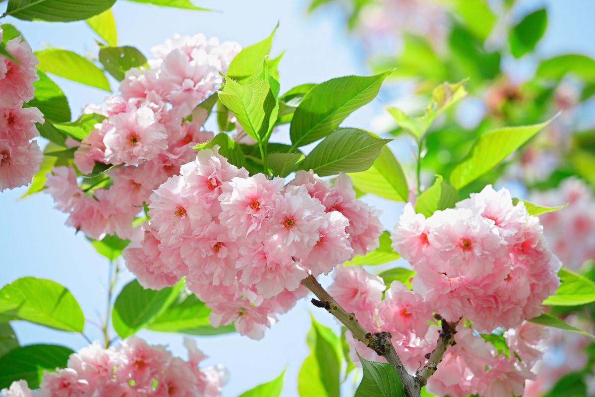 Sakury Kirschblüte