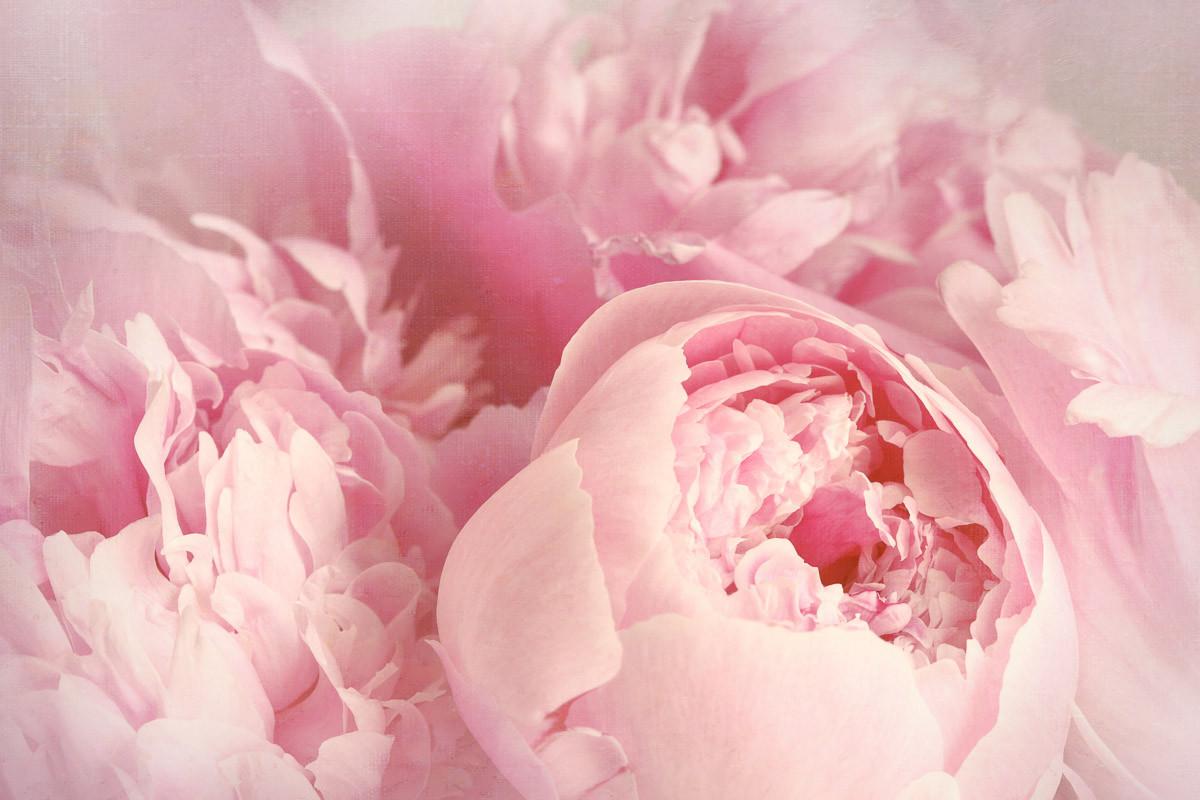 Pfingstrosenblumen