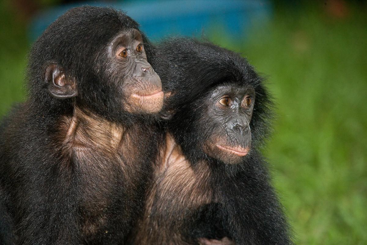 Baby Bonobos