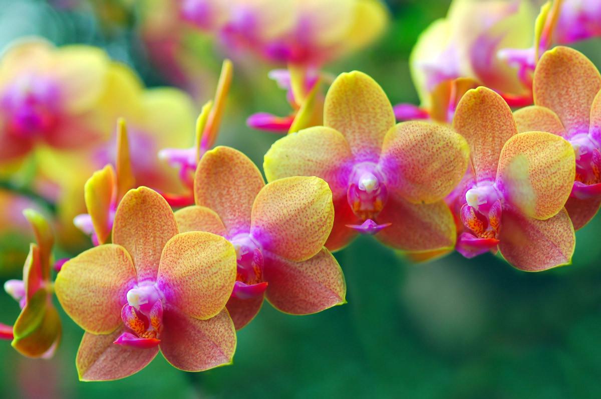 Goldene Orchideen