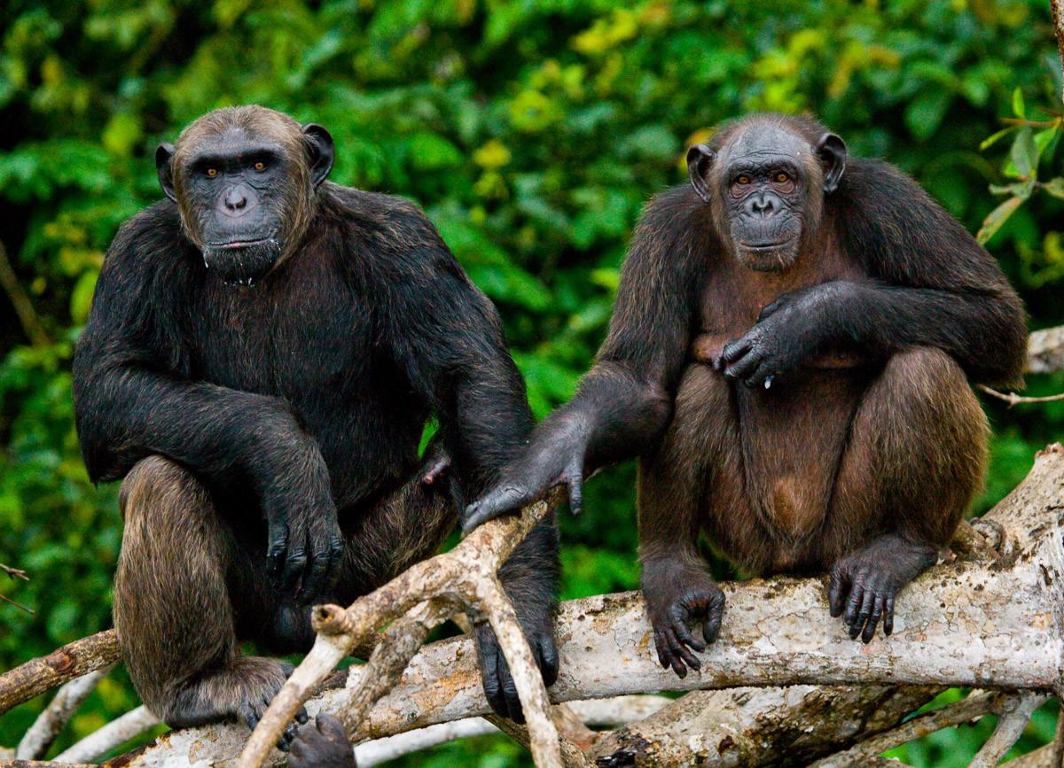 Schimpansen aus dem Kongo