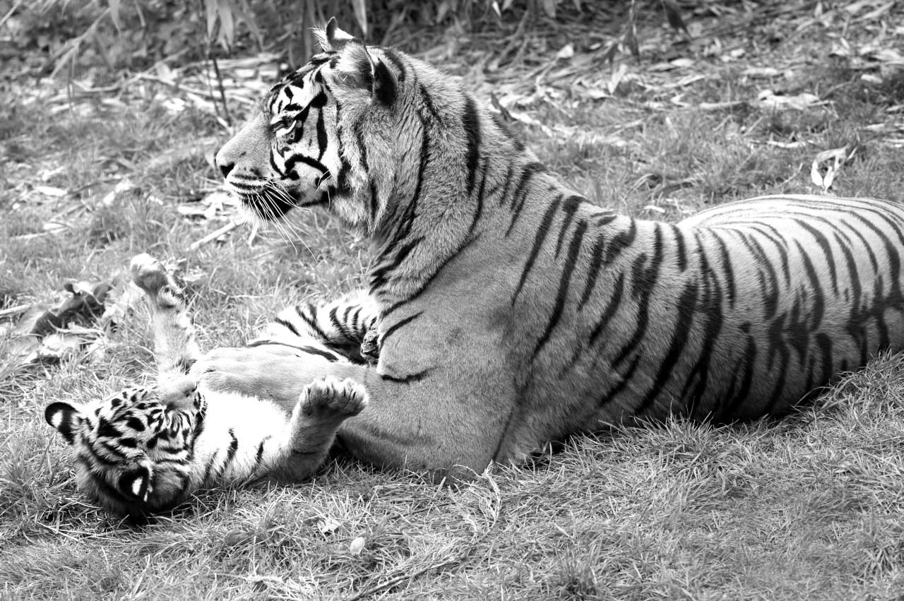 Tiger Schwarz & Weiß