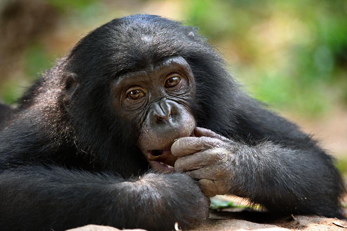 Bonobo-Porträt