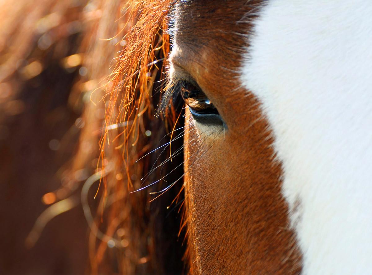 Nahaufnahme Pferdeauge