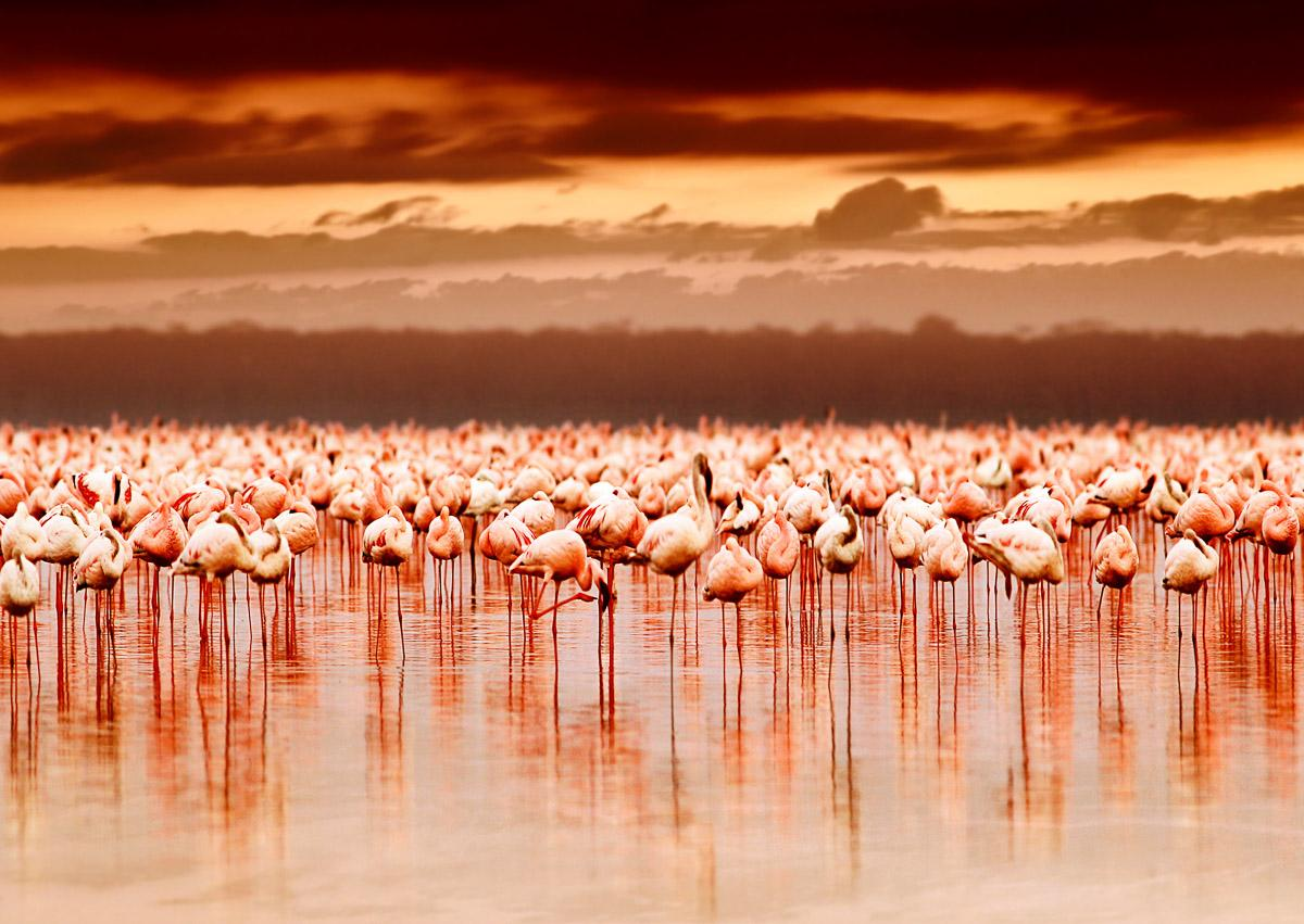 Afrikanische Flamingos