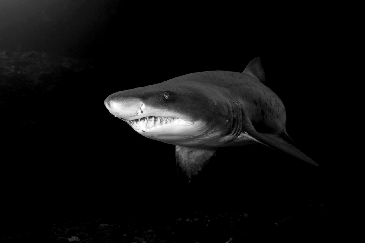 Haifisch Schwarz & Weiß