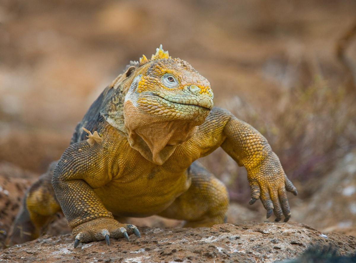 Galapagos-Leguan