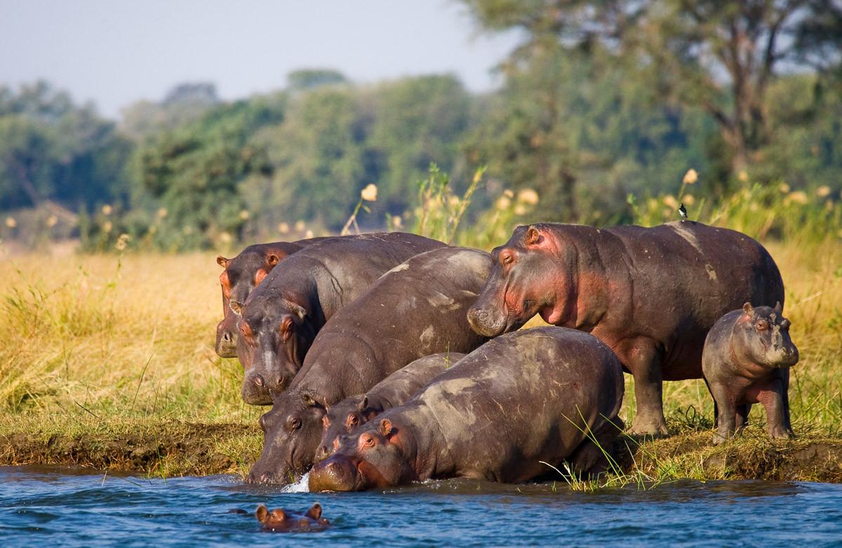 Hippo Familie