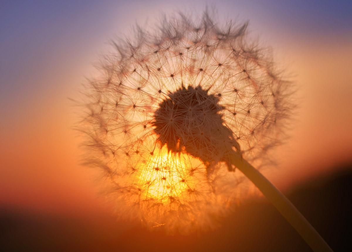 Goldener Sonnenuntergang Löwenzahn