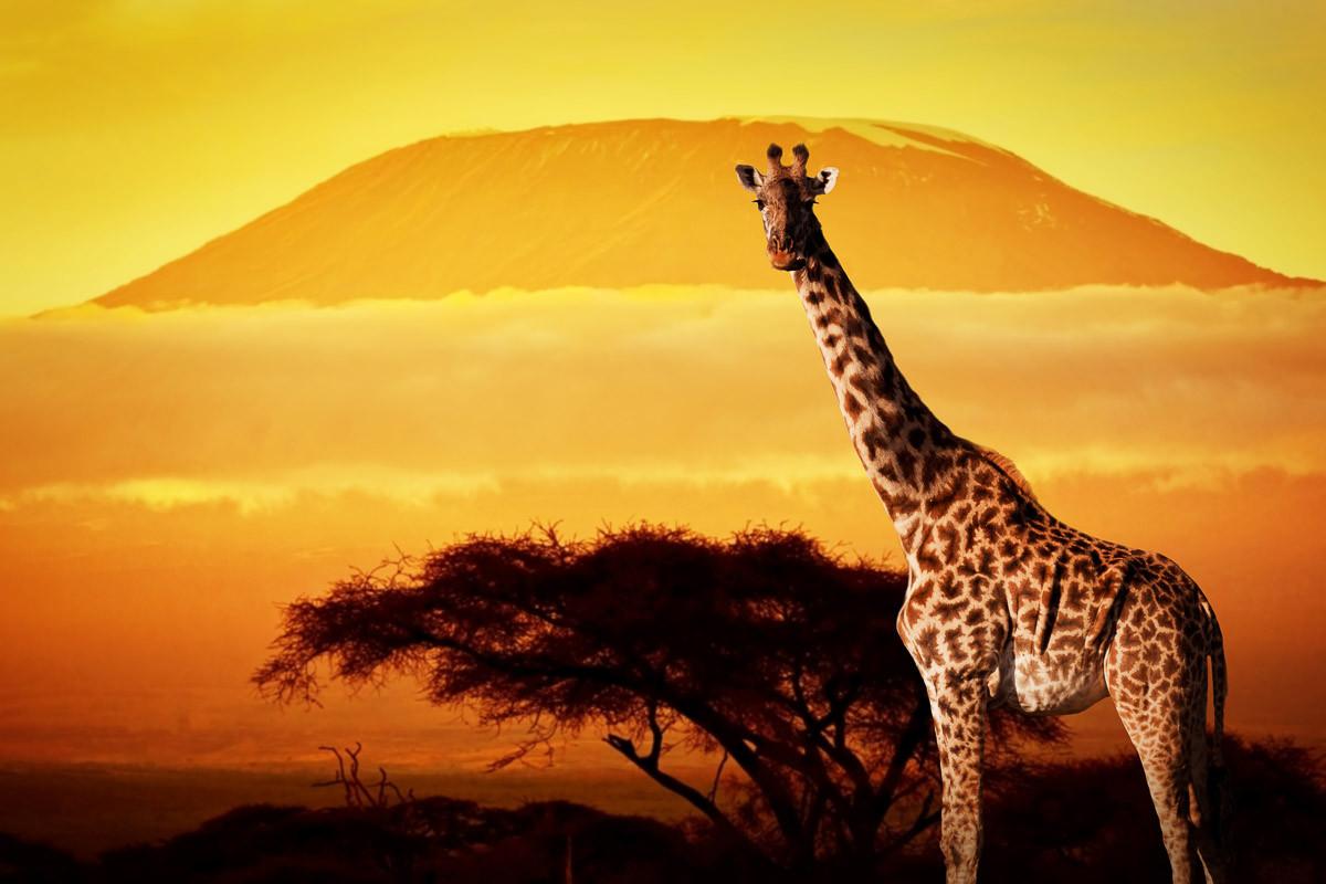 Giraffe von Kilimanjaro