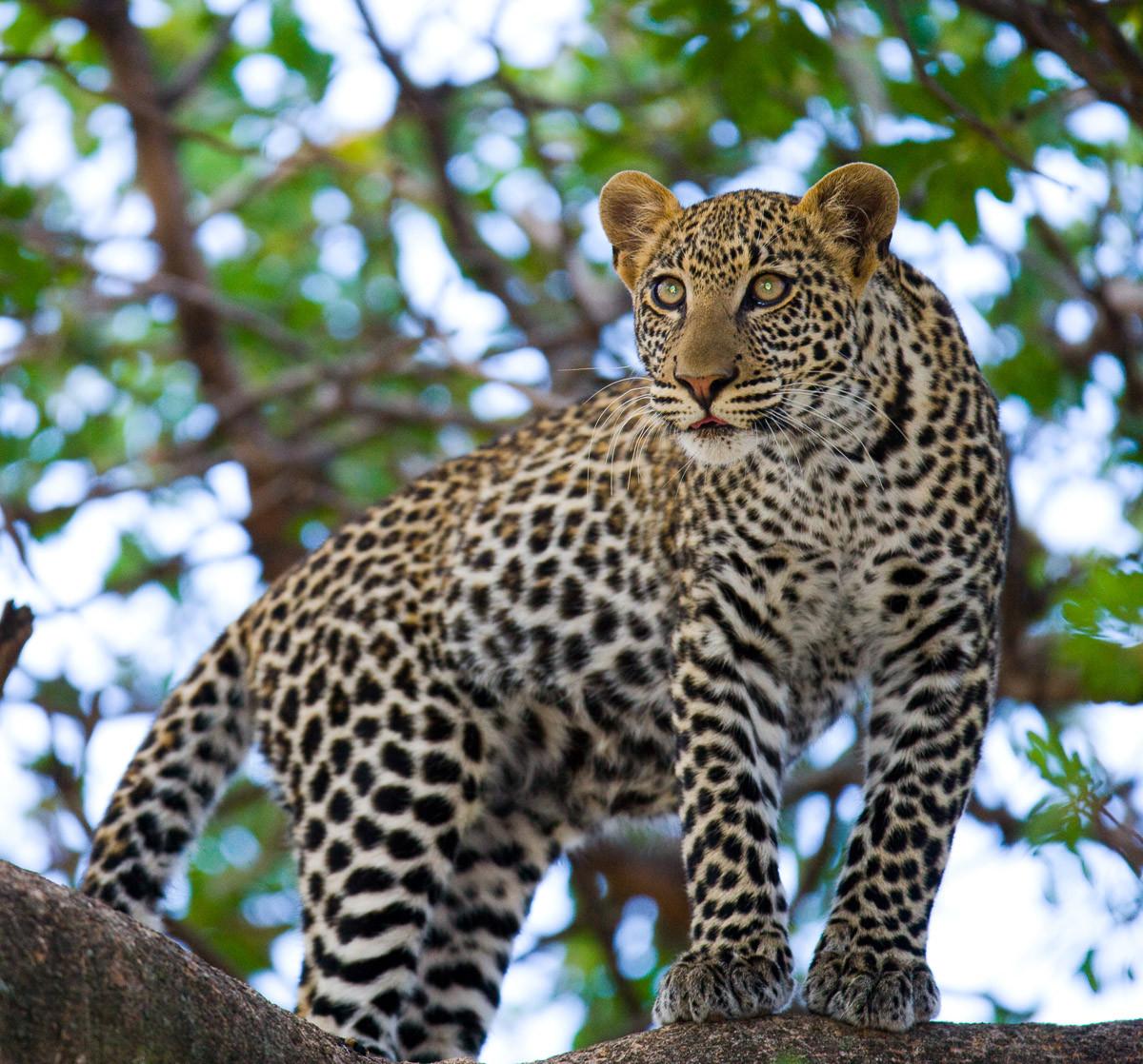 Leopard auf dem Baum