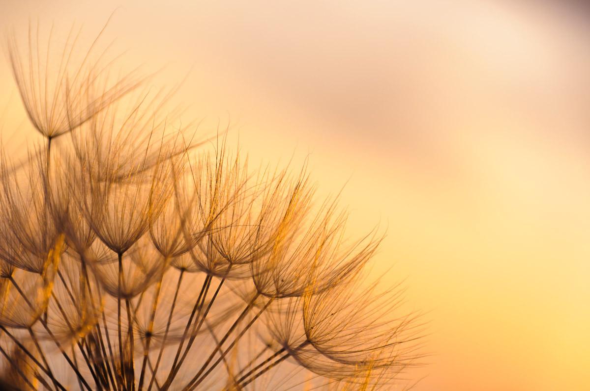 Löwenzahn Sonnenuntergang