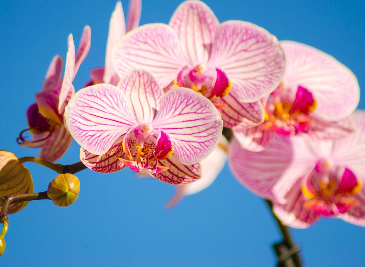 Rosa Phalaenopsis Orchidee