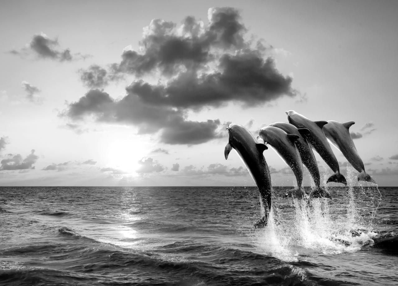 Delfine Schwarz & Weiß
