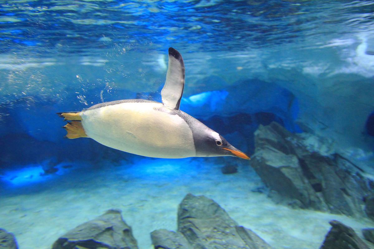 Unterwasser-Eselspinguin