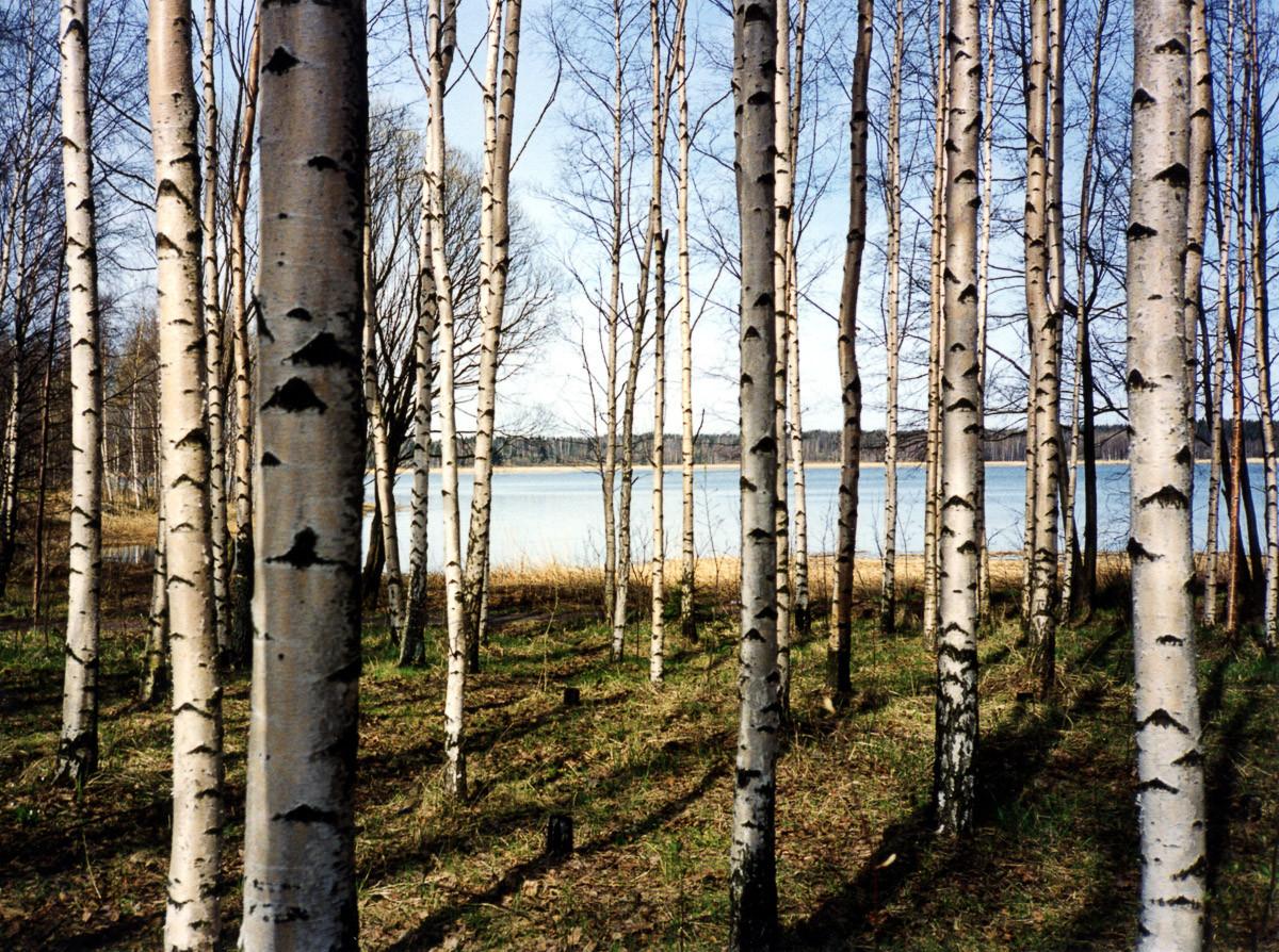 Finnischer Birkenwald