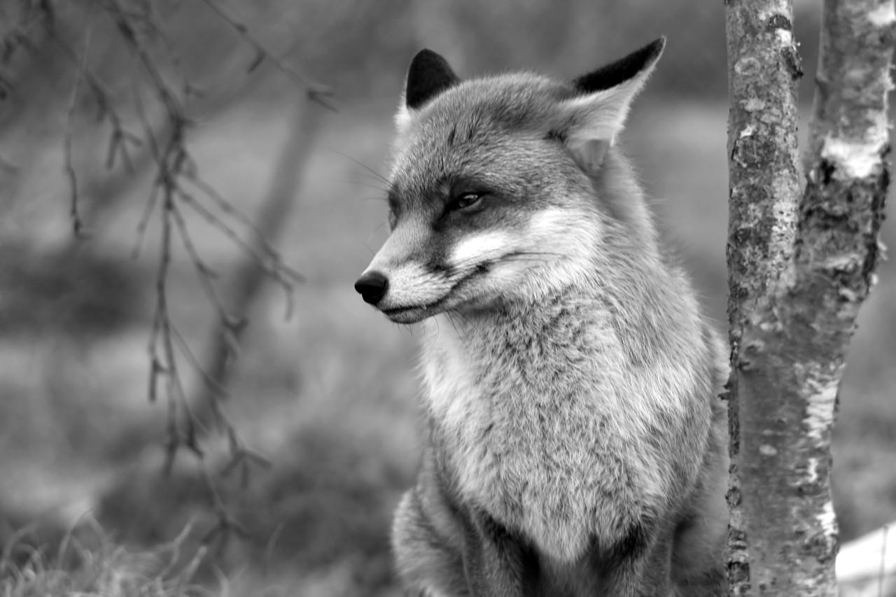 Fuchs Schwarz & Weiß