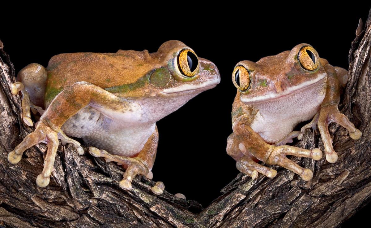 Froschliebe mit großen Augen