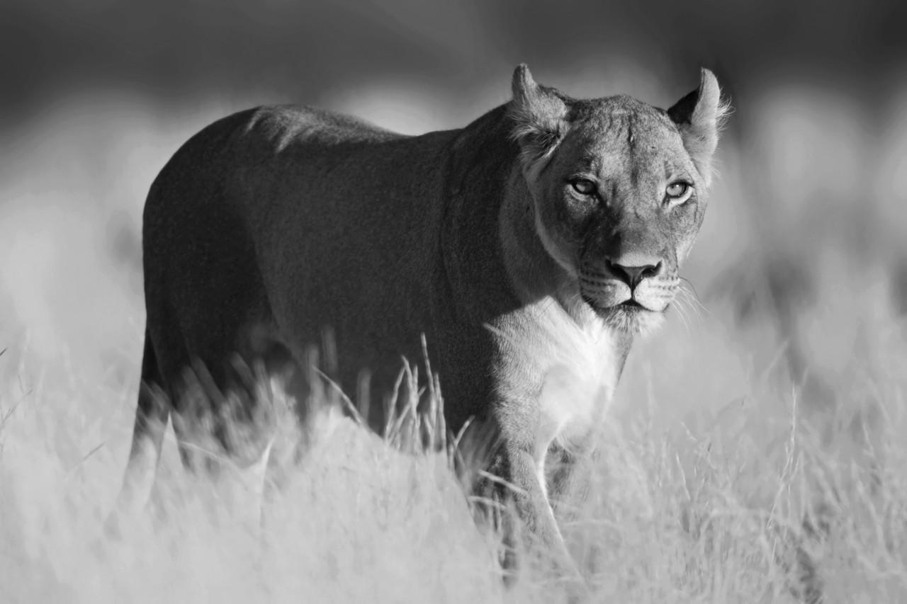 Löwe schwarz & weiß