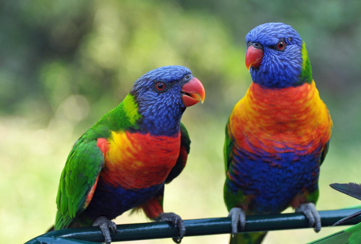 Regenbogen Lorikeets Vögel