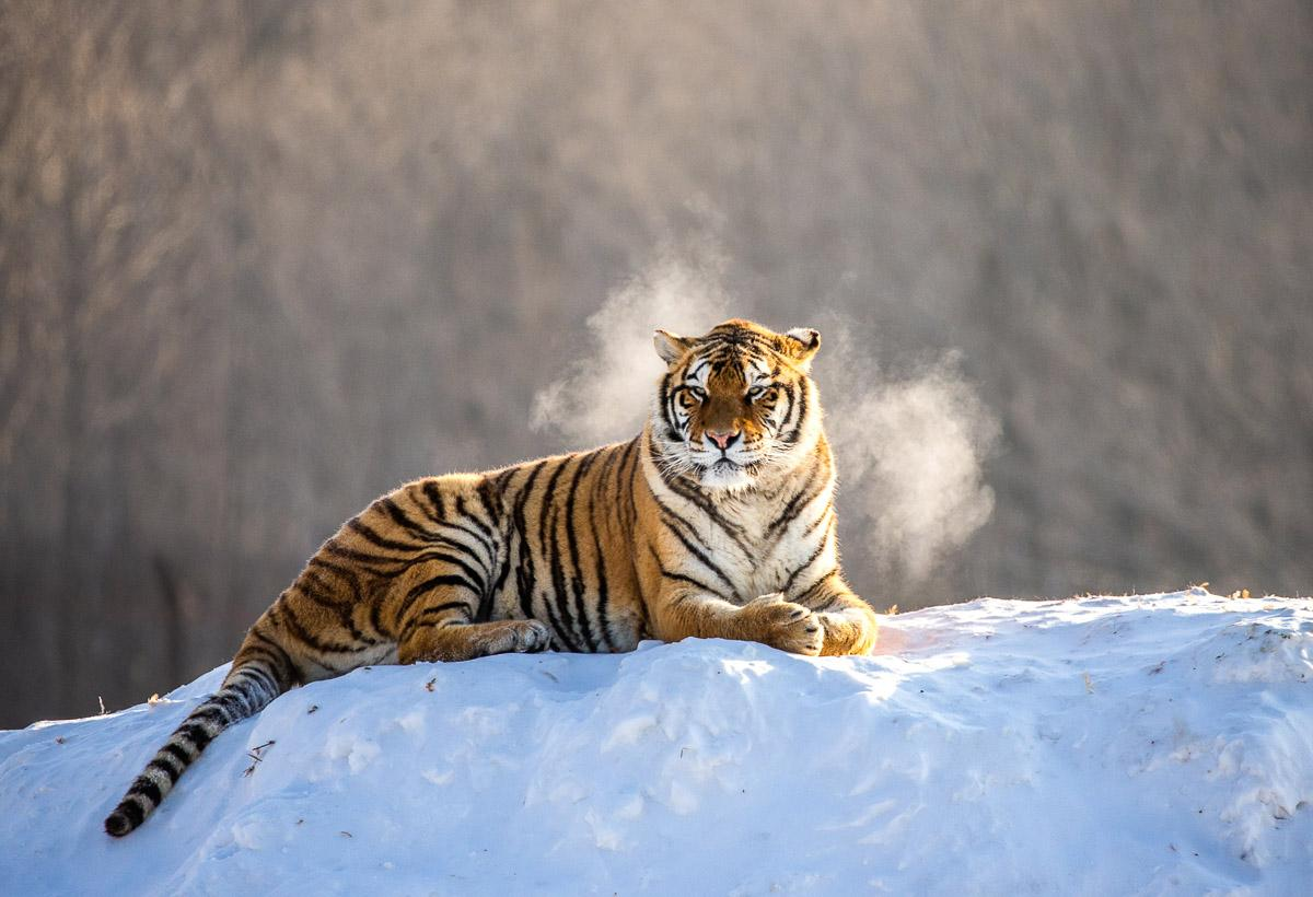 Siberain Tiger