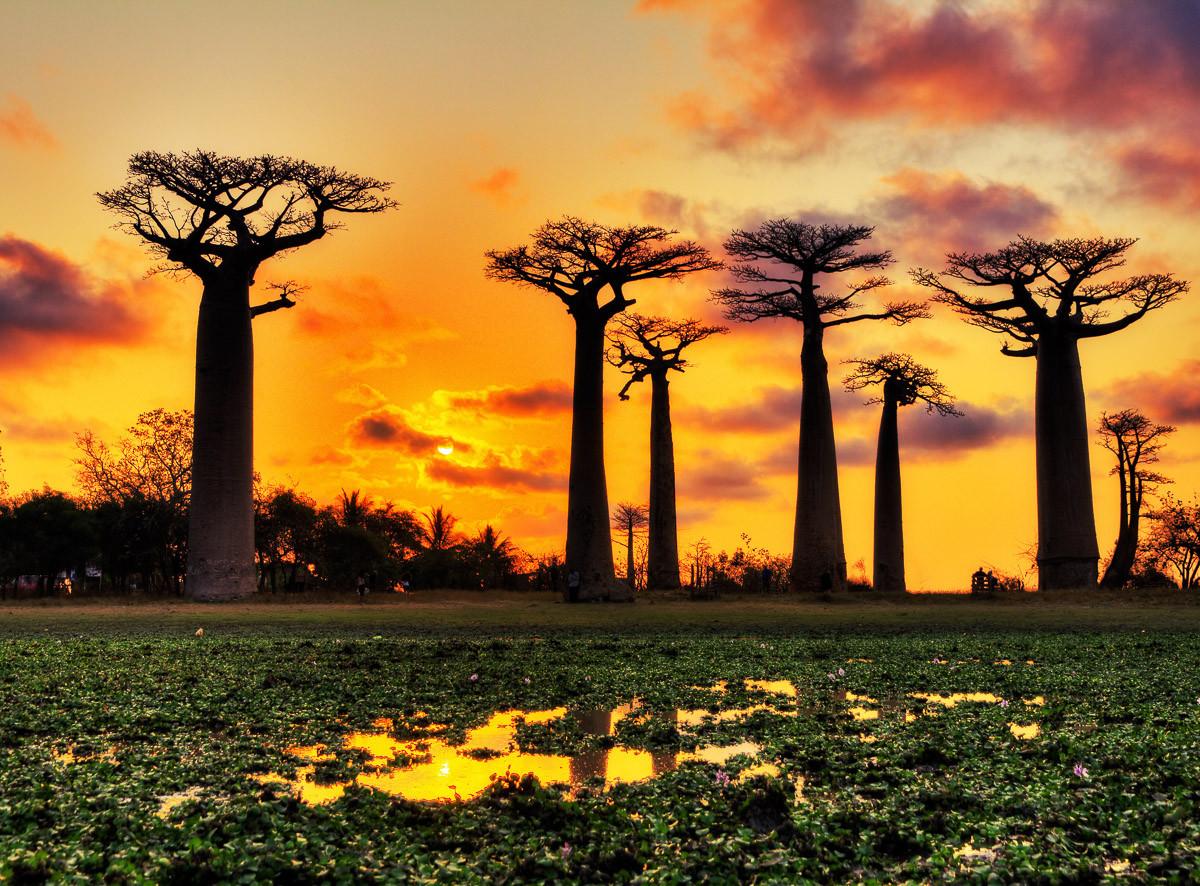 Baobabs Bäume Afrikanischer Sonnenuntergang
