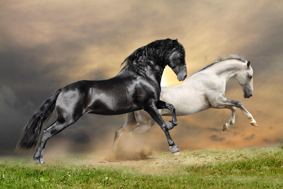 Schwarz-Weiß-Pferde