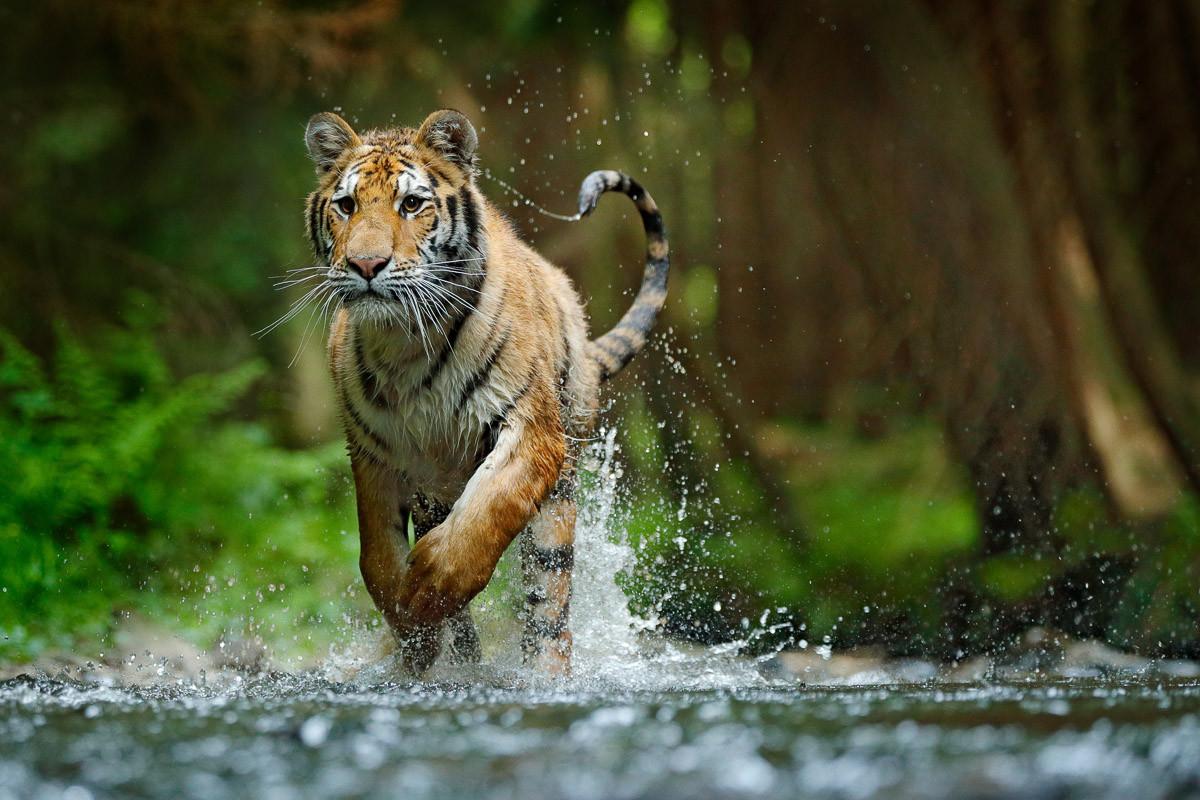 Sibirischer Amur-Tiger