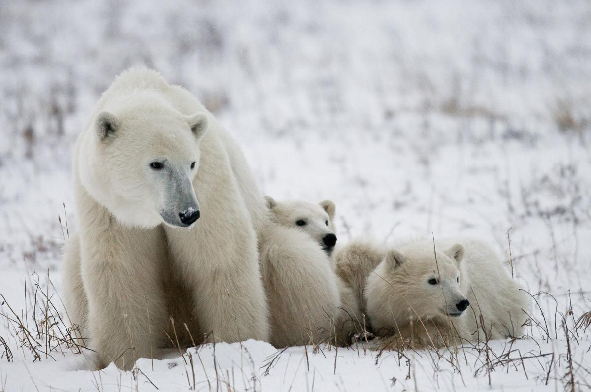 Eisbär mit Jungen