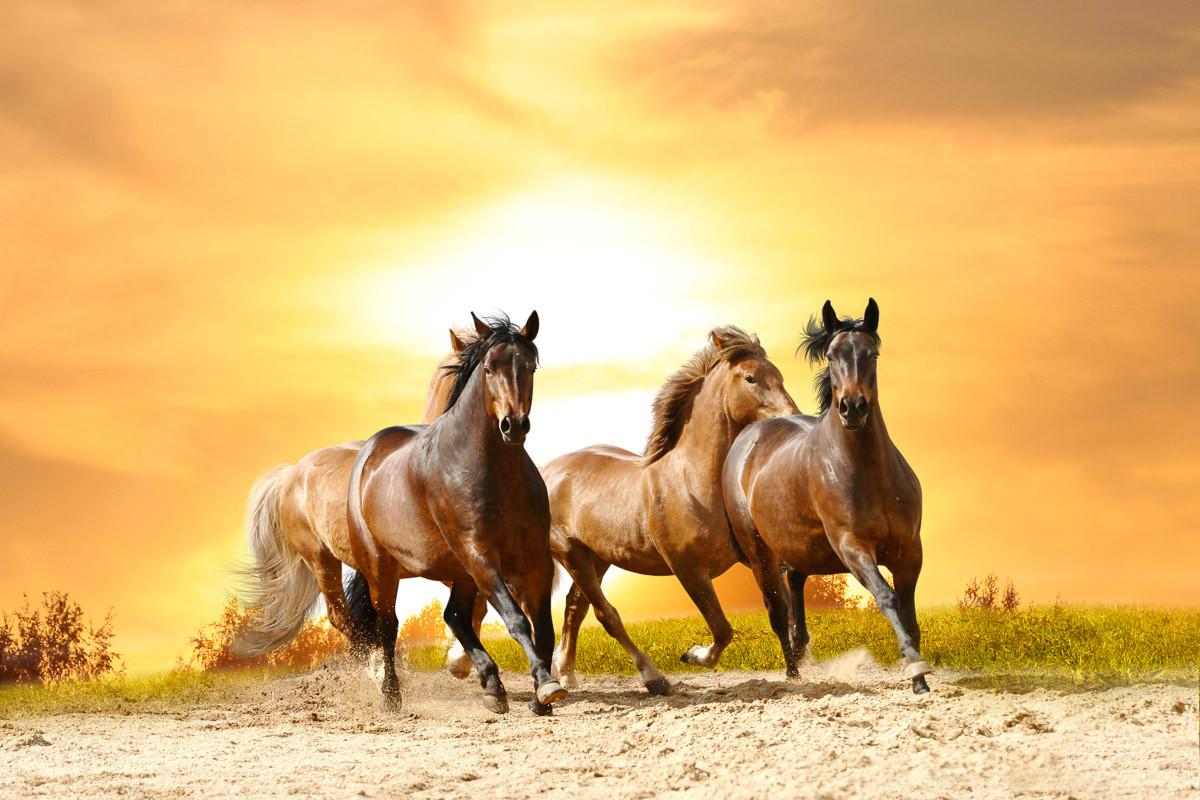 Pferde laufen im Sonnenuntergang