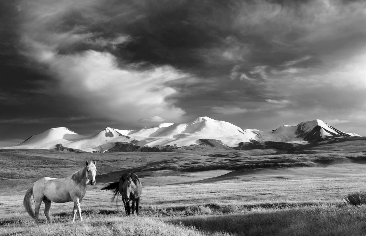 Pferde, Steppe Schwarz & Weiß