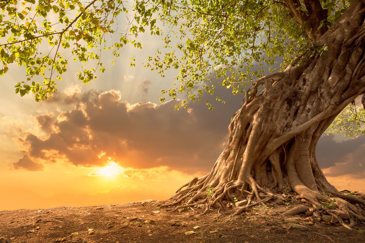 Alter Baum im Sonnenuntergang