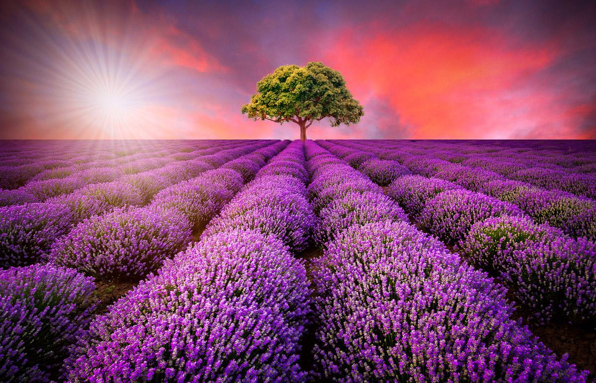 Lavendelfeld in Sunburst